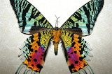 "Science tumblr silverhawk ""madagascan sunset moth"""