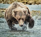 Ós Bear