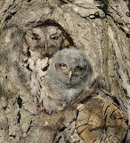 Birds - Owl camouflage with chick