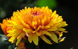 ^ Yellow chrysanthemum