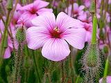 Purple flowers buds petals