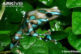Green-and-black-poison-frog-amongst-leaves