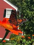 Greenfield Village Monarch in Burbank Garden by Nancy Kelley