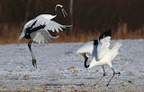 Ballet of Red Crowned Cranes by uropsalis