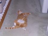 Big Ginger Cat