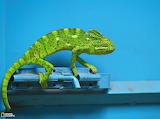 Chameleon, India...