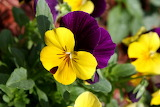Viola tricolor pansy flower
