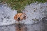 Golden Swimmer