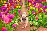 Pug in tulips