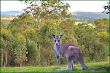 Young Kangaroo at Our Place