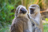 South Luangwa,vervet monkey