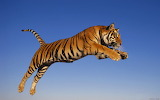 Bengal tiger in the sky