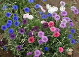 ^ Cornflower, Dwarf Mixed