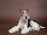 A1Wire-Fox-Terrier-