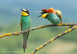 I'm speaking to you - Bee Eaters having a domestic! by Vlado Pir