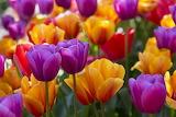 Bright, tulips, buds, flowers