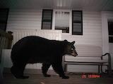 Bears - Pappa bear coming home at night