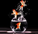 #Jumping Goldfish