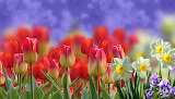 Tulips, daffodils, pansies, spring