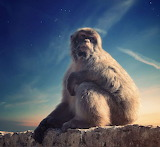 Animals - Barbary macaque