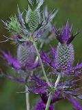 Wildflower False Thistle