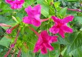 Flor de Nit - Mirabilis jalapa