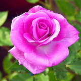 Light Purple Rose...