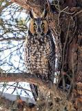Birds - Long eared owl