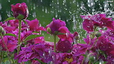 Flowers in a Storm