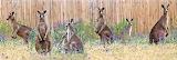 Australian Fauna ~ Kangaroos