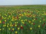 Schrenk's Tulip. Orenburg nature reserve