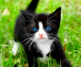 Blue Eyes Kitten...