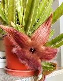 Flor cactus