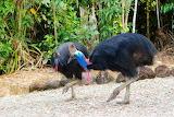cassowary couple