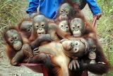 Orangutans on their way to jungle school