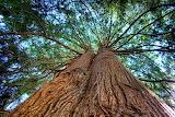 Western Red Cedar tree canada