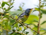 Northern Parula by Mary Conte