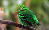 "Birds tumblr iguanamouth ""green broadbill (Calyptomena viridis)"