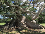 oldest tree in puerto rico