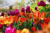 Normal Tulipes-dans-Central-Park---1