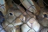 Caged-rabbits-