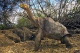 Pinta Island Tortoise 'Lonesome George'