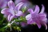 Campanula Closeup Violet 540568 1280x850