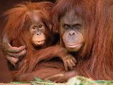 Very Protective Orangutans