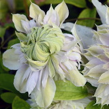 flowers moonglow clematis