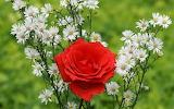 ☺ Red rose...
