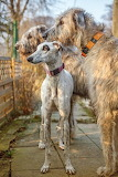 Irish Wolfhounds with grayhound