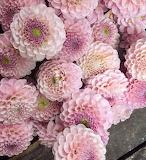 Autumn Pink Dahlia Flowers