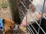 Dog Meets Pig
