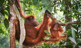 Orangutan mother climbs with youngster